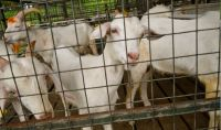 gallery_images_goat_farm3